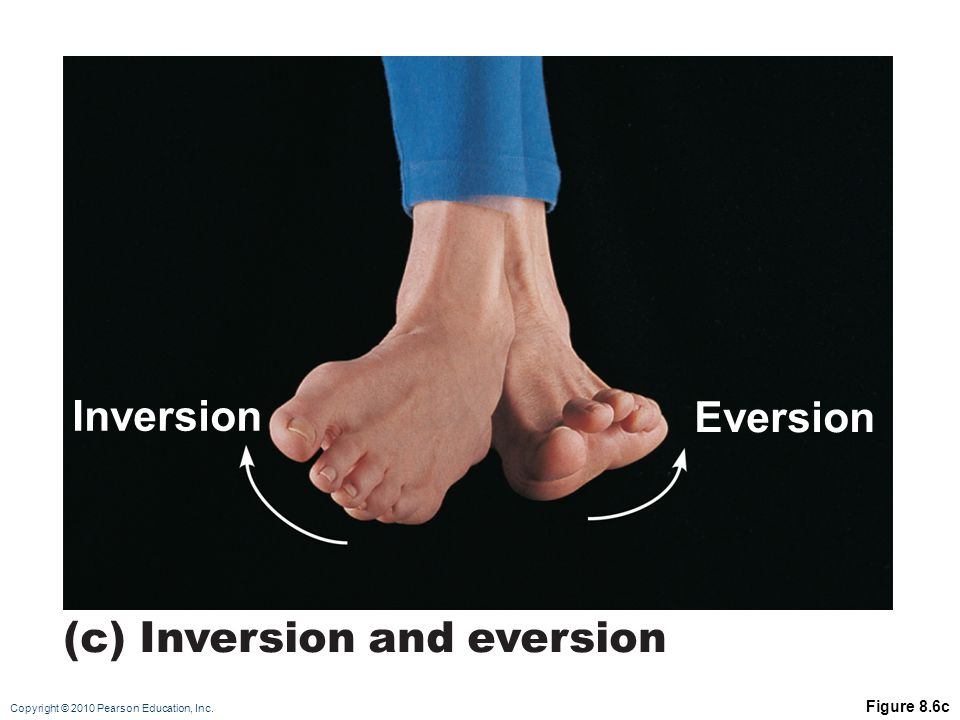 Copyright © 2010 Pearson Education, Inc. Figure 8.6c Eversion Inversion (c) Inversion and eversion