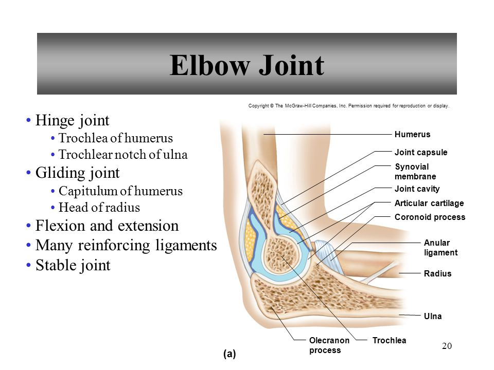 20 Elbow Joint Hinge joint Trochlea of humerus Trochlear notch of ulna Gliding joint Capitulum of humerus Head of radius Flexion and extension Many re