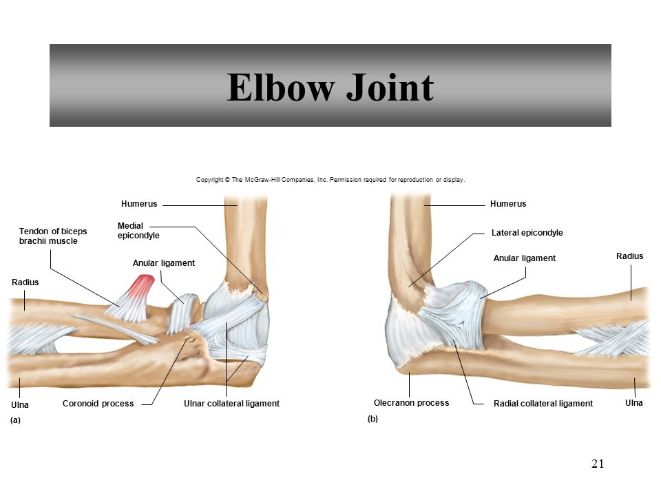21 Elbow Joint Radius Tendon of biceps brachii muscle Anular ligament Humerus Medial epicondyle Ulnar collateral ligament Coronoid process Ulna Humeru