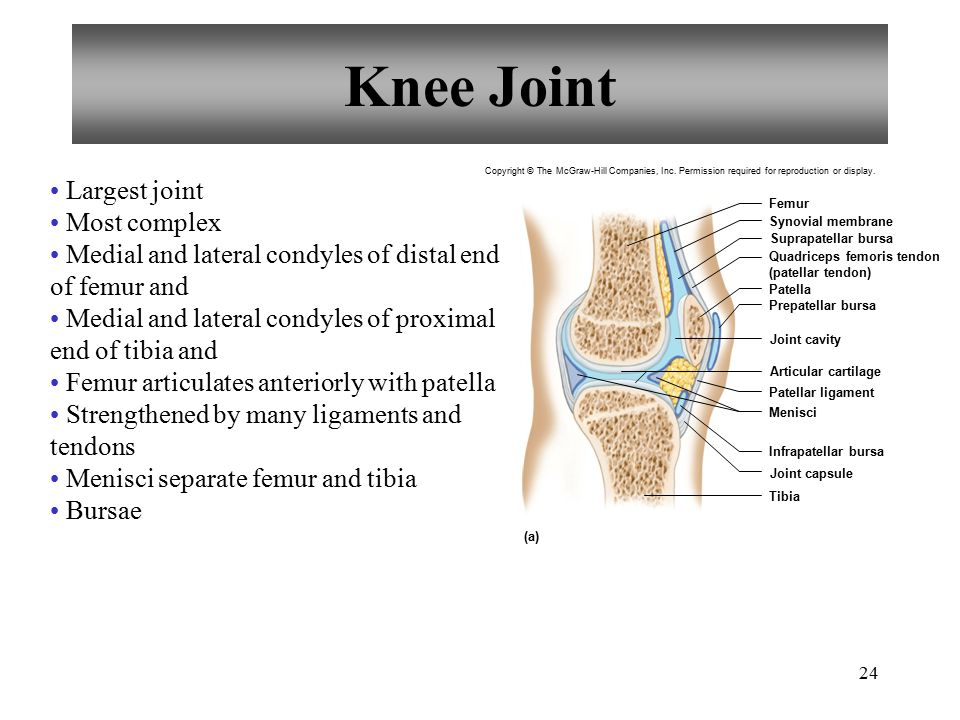 24 Knee Joint Largest joint Most complex Medial and lateral condyles of distal end of femur and Medial and lateral condyles of proximal end of tibia a