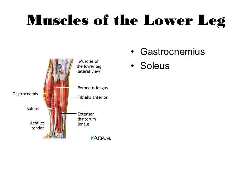 Muscles of the Lower Leg Gastrocnemius Soleus