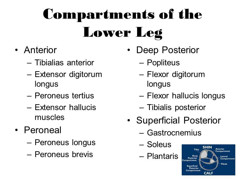 Compartments of the Lower Leg Anterior –Tibialias anterior –Extensor digitorum longus –Peroneus tertius –Extensor hallucis muscles Peroneal –Peroneus