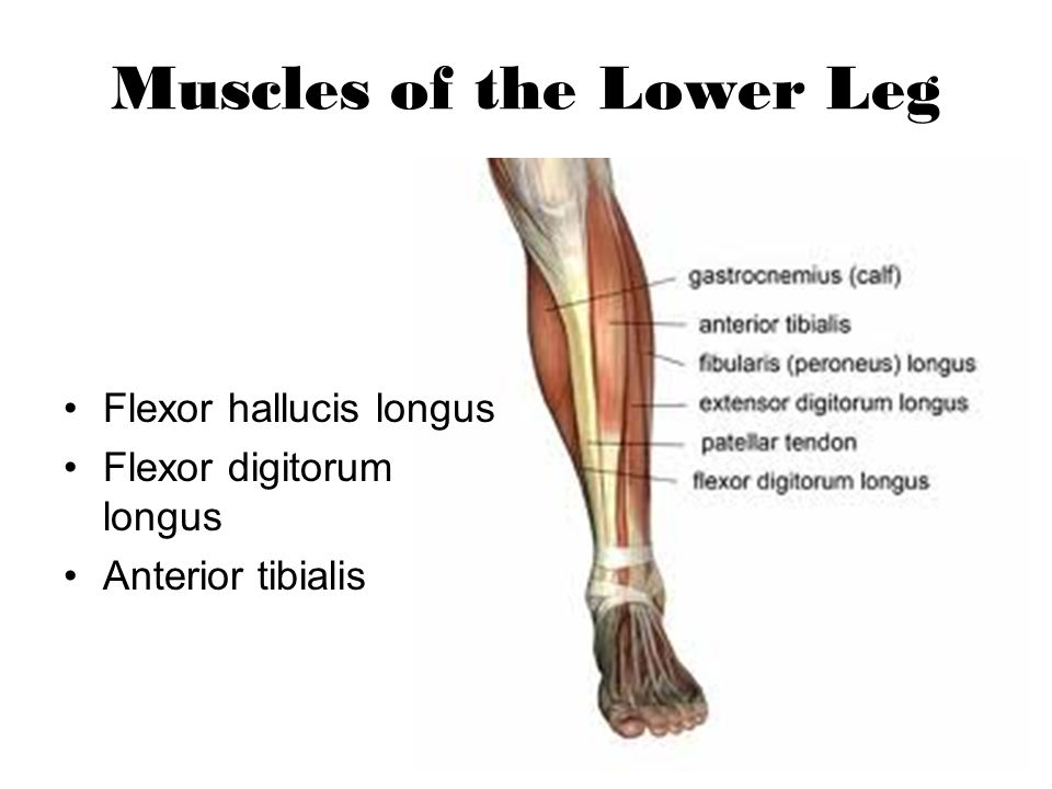 Muscles of the Lower Leg Flexor hallucis longus Flexor digitorum longus Anterior tibialis