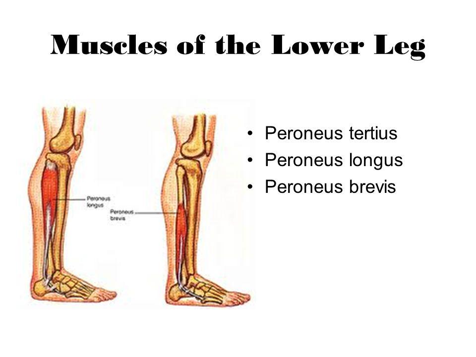 Muscles of the Lower Leg Peroneus tertius Peroneus longus Peroneus brevis