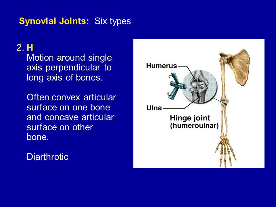 Synovial Joints: Six types 2. H Motion around single axis perpendicular to long axis of bones.