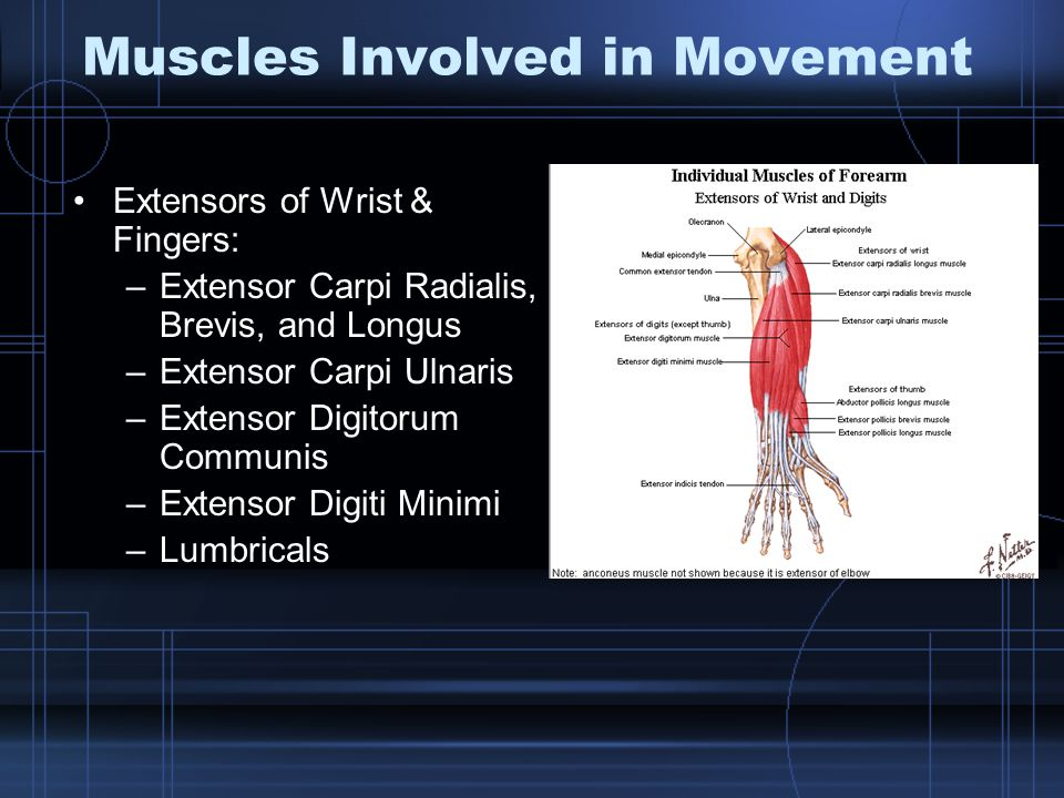 Muscles Involved in Movement Extensors of Wrist & Fingers: –Extensor Carpi Radialis, Brevis, and Longus –Extensor Carpi Ulnaris –Extensor Digitorum Communis –Extensor Digiti Minimi –Lumbricals