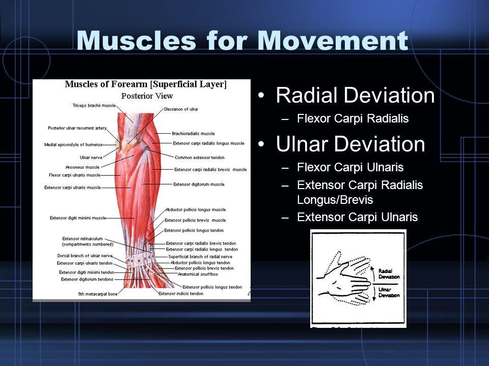 Muscles for Movement Radial Deviation –Flexor Carpi Radialis Ulnar Deviation –Flexor Carpi Ulnaris –Extensor Carpi Radialis Longus/Brevis –Extensor Ca