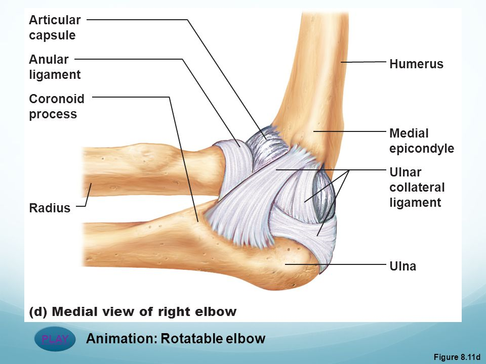 PLAY Animation: Rotatable elbow Figure 8.11d Articular capsule Anular ligament Coronoid process (d) Medial view of right elbow Radius Humerus Medial e