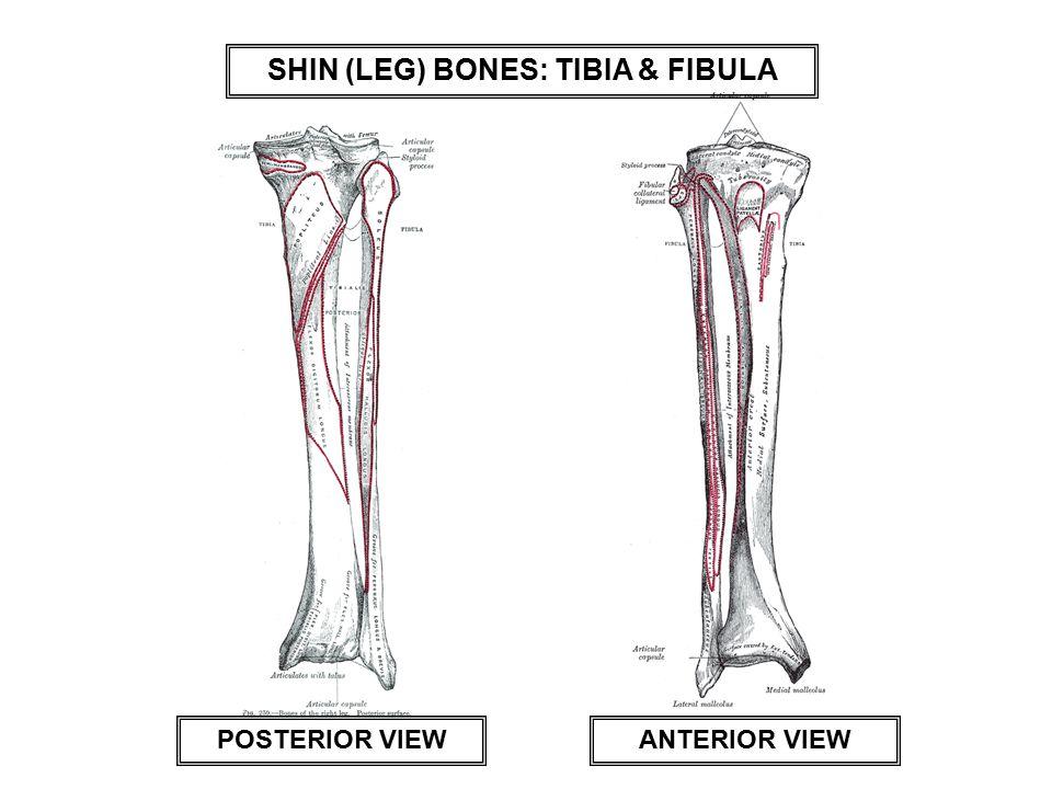 SHIN (LEG) BONES: TIBIA & FIBULA POSTERIOR VIEWANTERIOR VIEW