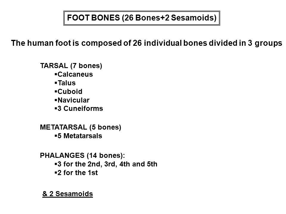 The human foot is composed of 26 individual bones divided in 3 groups TARSAL (7 bones)  Calcaneus  Talus  Cuboid  Navicular  3 Cuneiforms METATAR