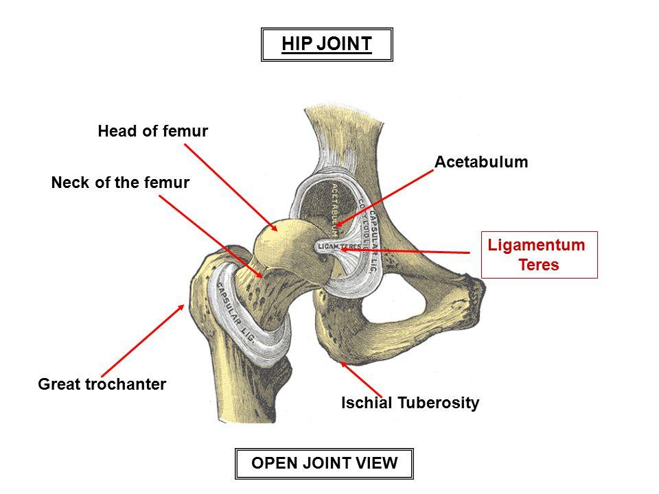 Head of femur Neck of the femur Great trochanter Ischial Tuberosity Ligamentum Teres Acetabulum HIP JOINT OPEN JOINT VIEW