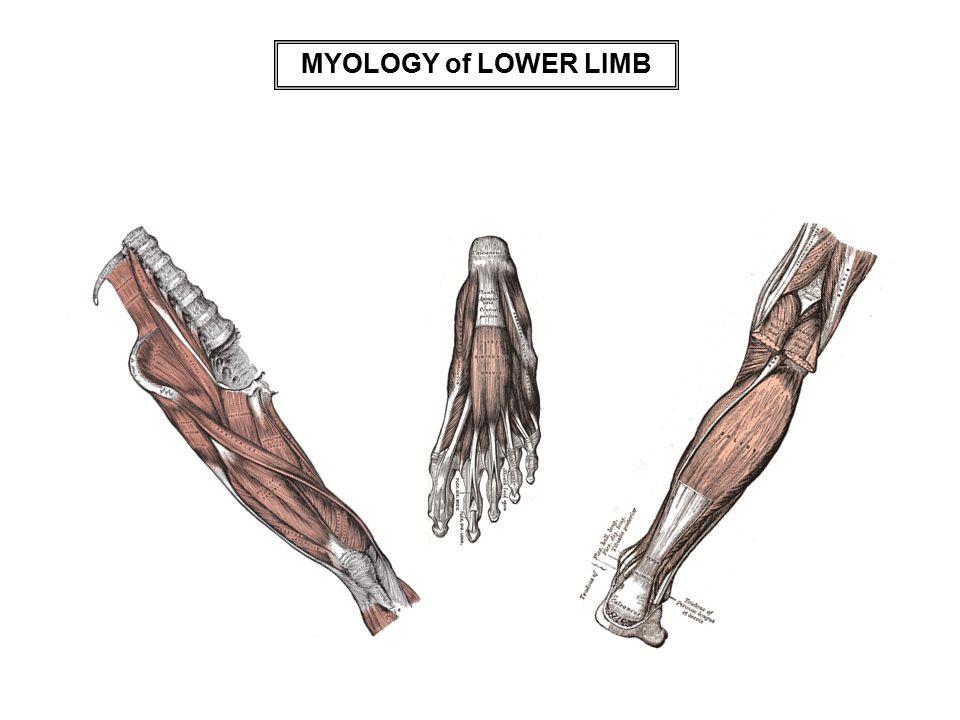 MYOLOGY of LOWER LIMB