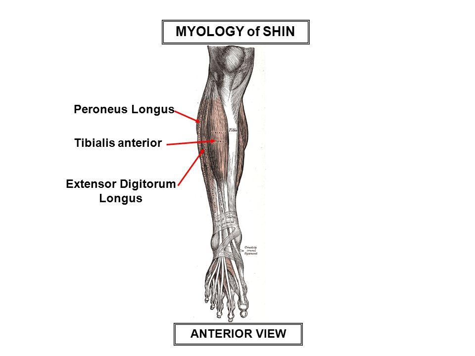 MYOLOGY of SHIN Tibialis anterior Peroneus Longus Extensor Digitorum Longus ANTERIOR VIEW