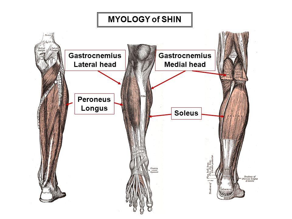 MYOLOGY of SHIN Gastrocnemius Medial head Gastrocnemius Lateral head Soleus Peroneus Longus