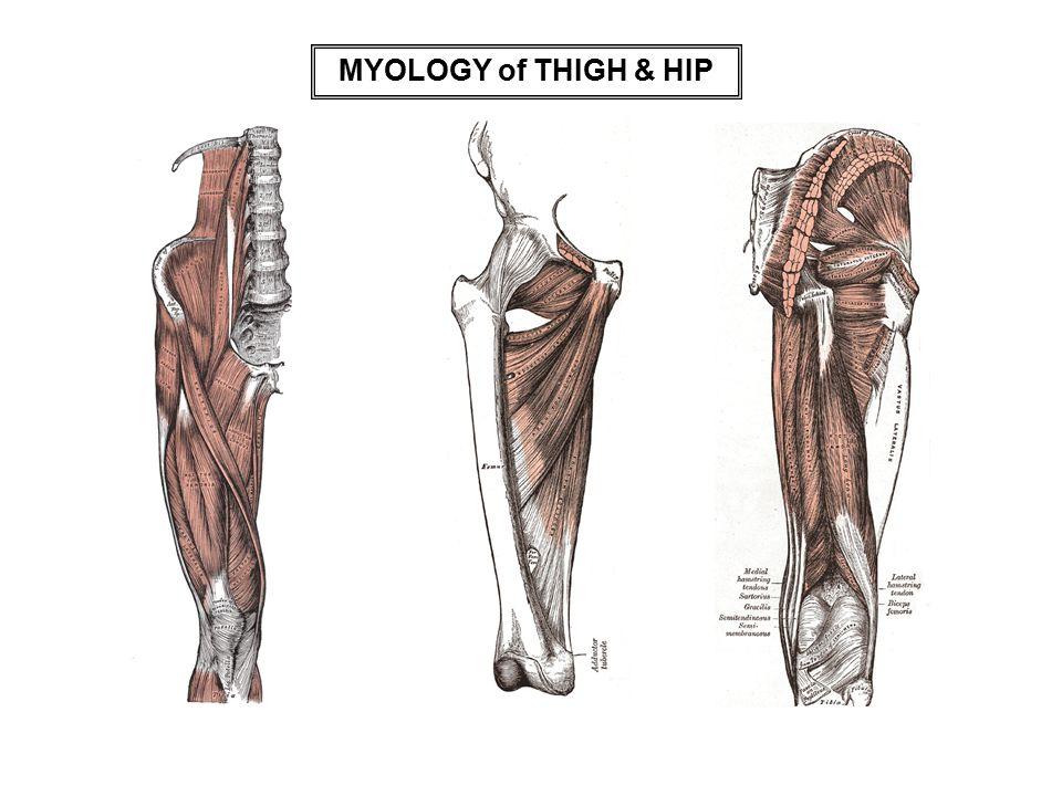MYOLOGY of THIGH & HIP