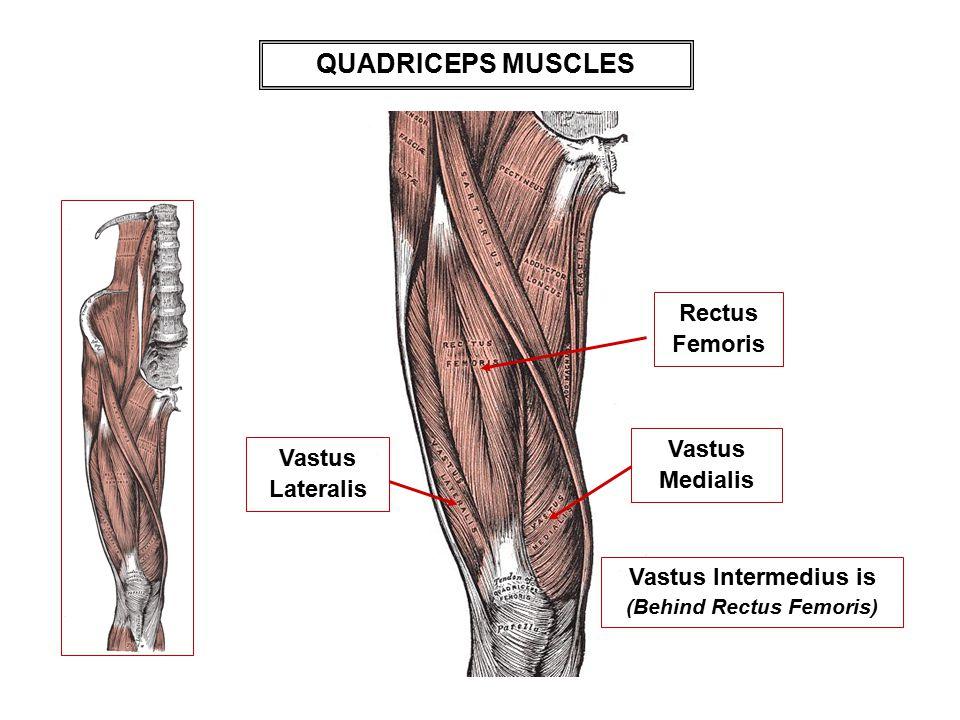 QUADRICEPS MUSCLES Vastus Intermedius is (Behind Rectus Femoris) Vastus Lateralis Vastus Medialis Rectus Femoris