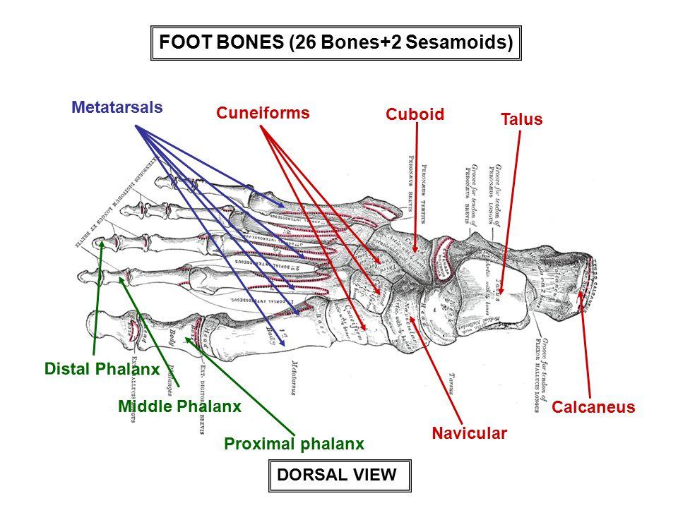 FOOT BONES (26 Bones+2 Sesamoids) Talus Calcaneus Cuboid Navicular Cuneiforms Metatarsals Distal Phalanx Middle Phalanx Proximal phalanx DORSAL VIEW