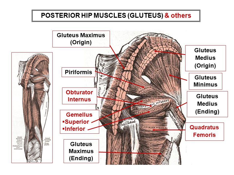 POSTERIOR HIP MUSCLES (GLUTEUS) & others Piriformis Gemellus  Superior  Inferior Gluteus Minimus Quadratus Femoris Gluteus Medius (Origin) Gluteus M