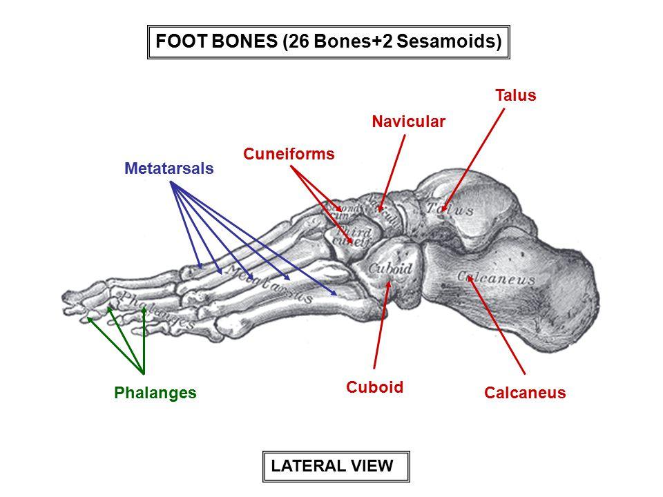Talus Calcaneus Cuboid Cuneiforms Navicular Metatarsals Phalanges LATERAL VIEW FOOT BONES (26 Bones+2 Sesamoids)