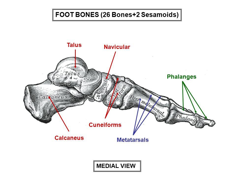 Talus Calcaneus Cuneiforms Navicular Metatarsals Phalanges MEDIAL VIEW FOOT BONES (26 Bones+2 Sesamoids)