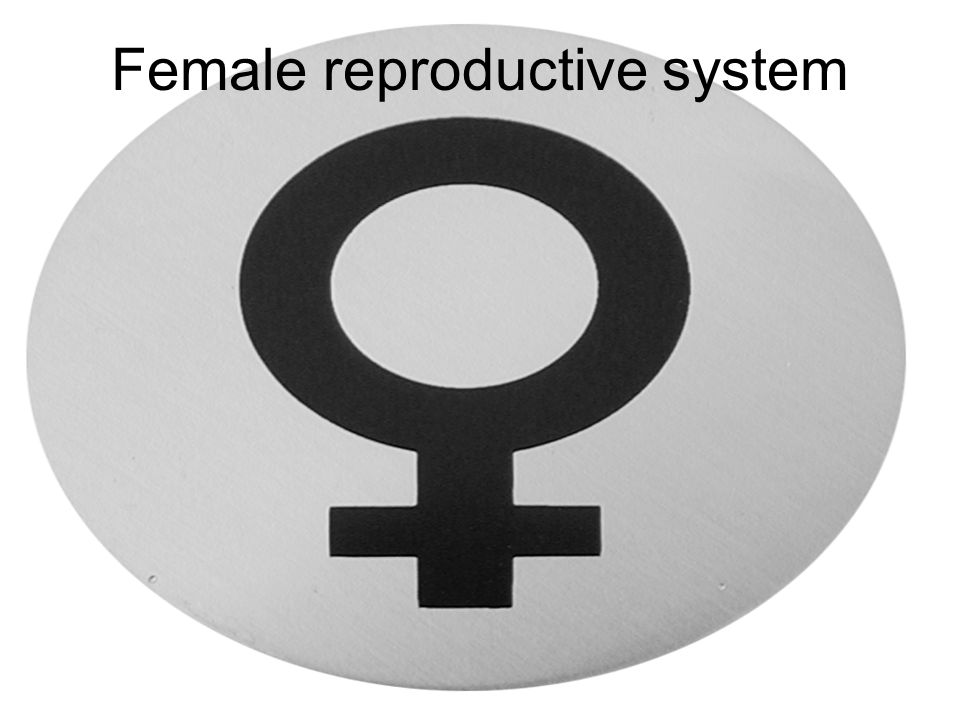 Ovaries –ligaments support and stabilize Uterine tubes Uterus –enclosed within broad ligament Vagina External genitalia The Female Reproductive System