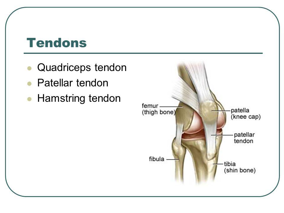 Tendons Quadriceps tendon Patellar tendon Hamstring tendon