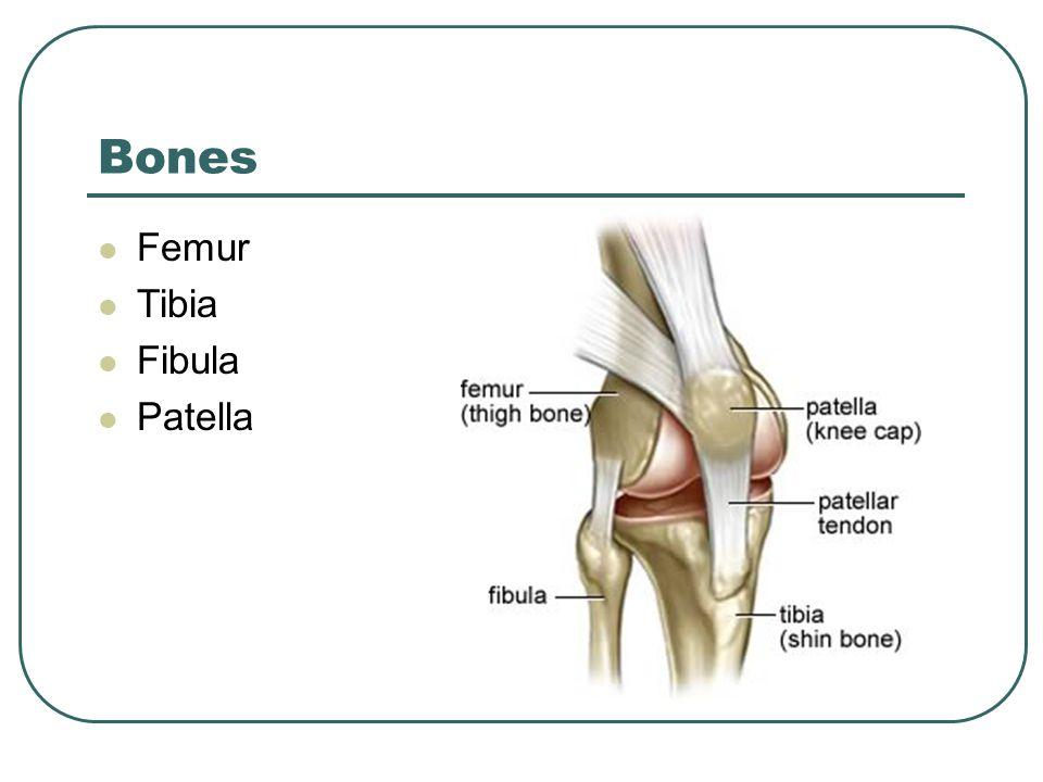 Bones Femur Tibia Fibula Patella