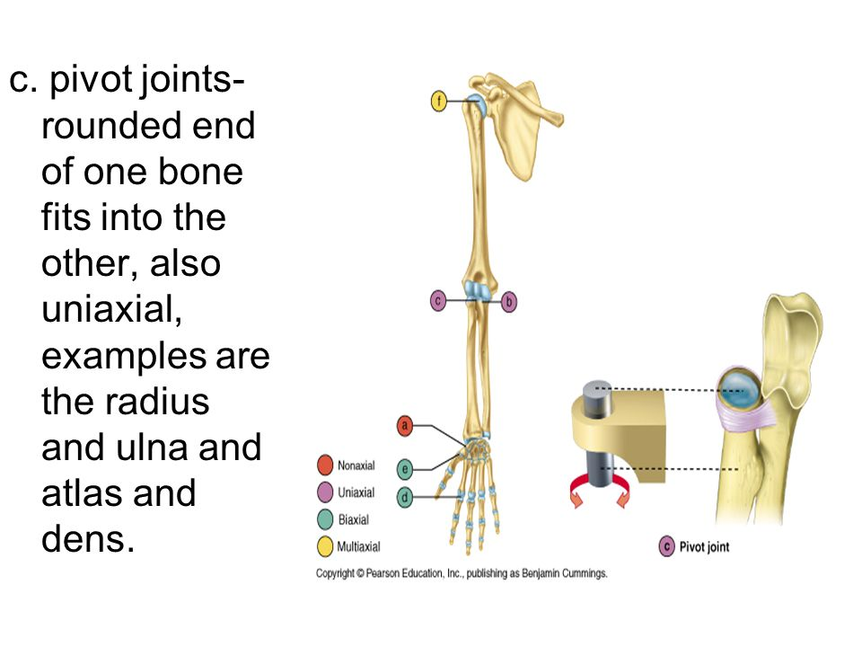 c. pivot joints- rounded end of one bone fits into the other, also uniaxial, examples are the radius and ulna and atlas and dens.