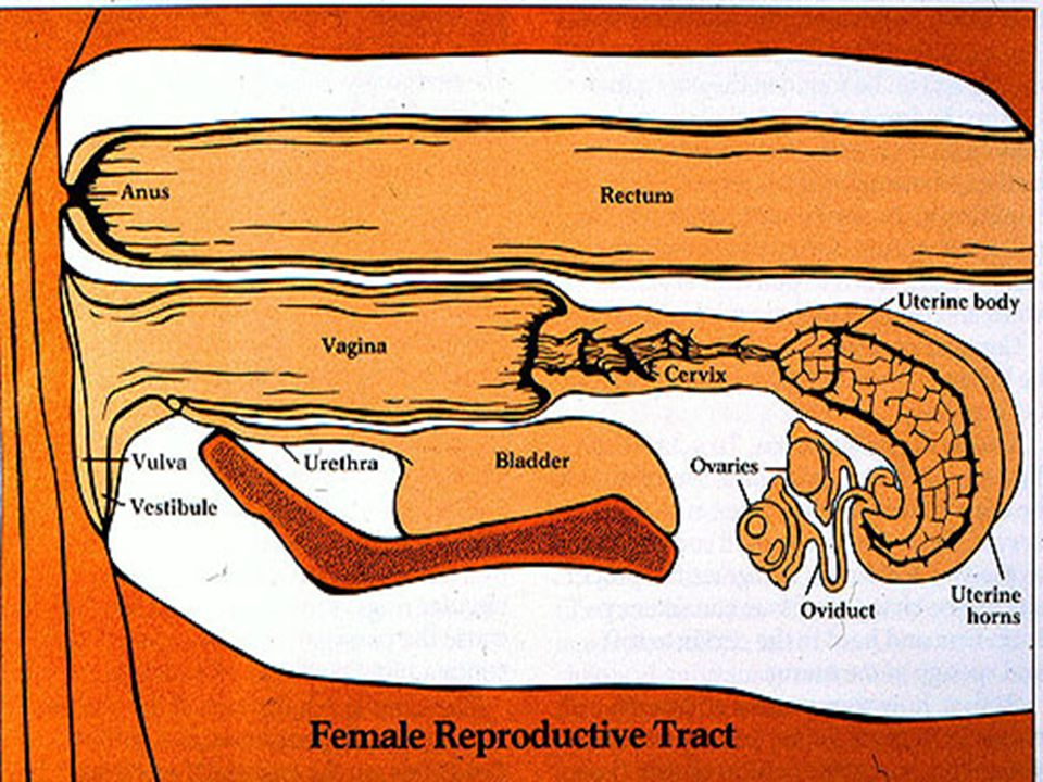 Uterus - highly expanded tubular organ.- where the embryo or fetus developed.