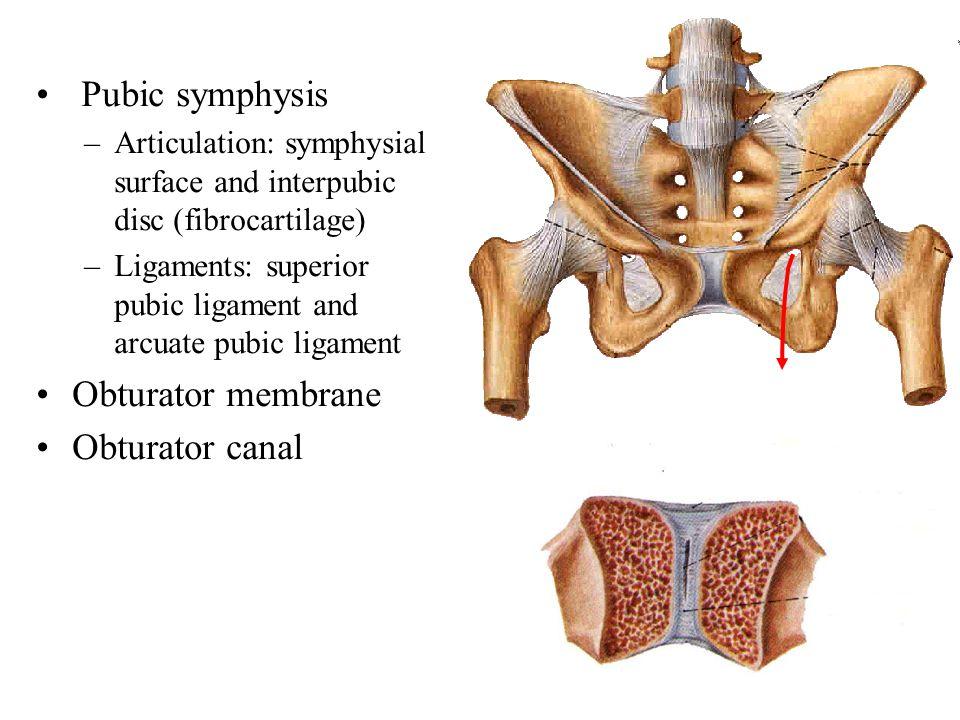 Pubic symphysis –Articulation: symphysial surface and interpubic disc (fibrocartilage) –Ligaments: superior pubic ligament and arcuate pubic ligament