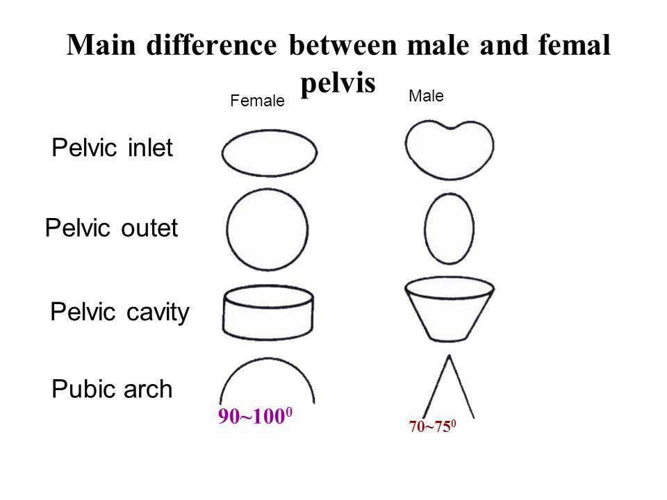 Female Male Pelvic inlet Pelvic outet Pelvic cavity Pubic arch 90~100 0 70~75 0