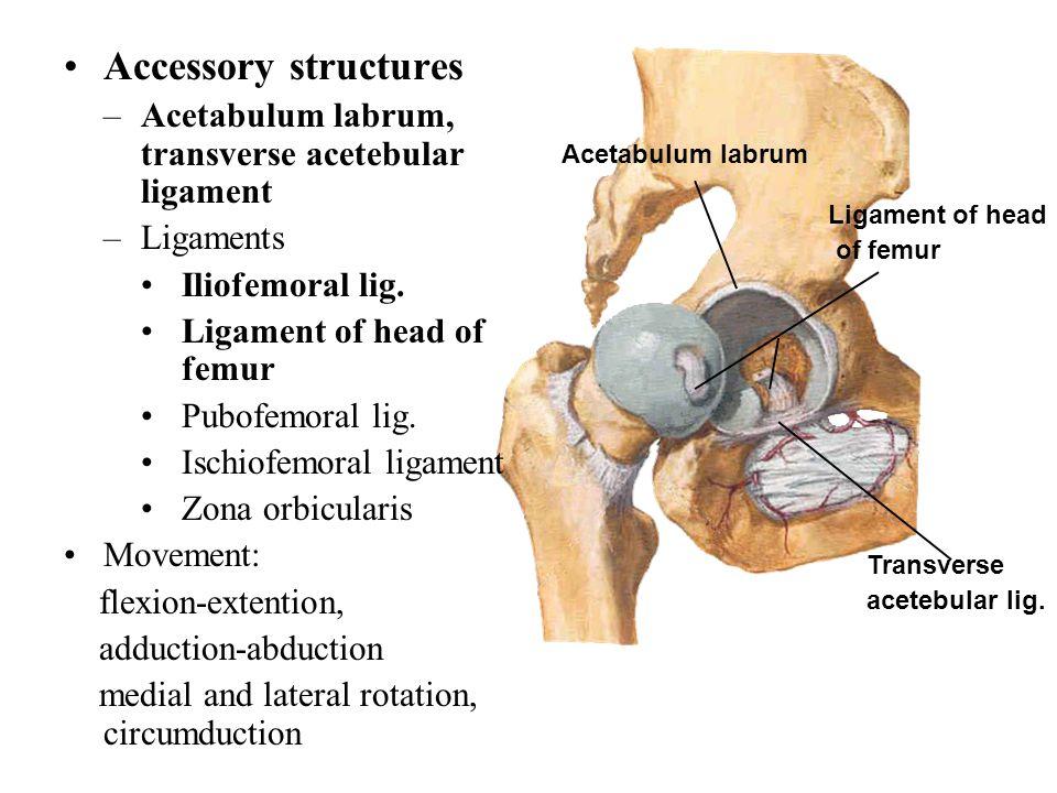 Accessory structures –Acetabulum labrum, transverse acetebular ligament –Ligaments Iliofemoral lig. Ligament of head of femur Pubofemoral lig. Ischiof