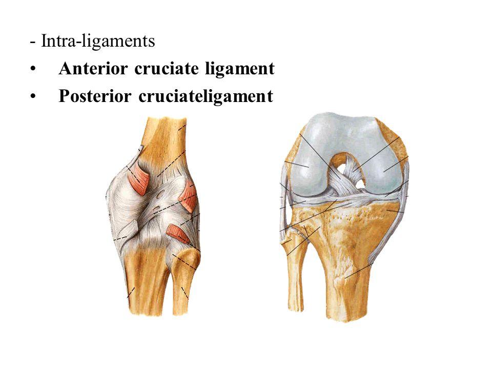 - Intra-ligaments Anterior cruciate ligament Posterior cruciateligament