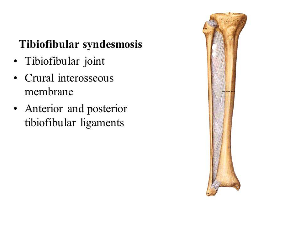 Tibiofibular syndesmosis Tibiofibular joint Crural interosseous membrane Anterior and posterior tibiofibular ligaments
