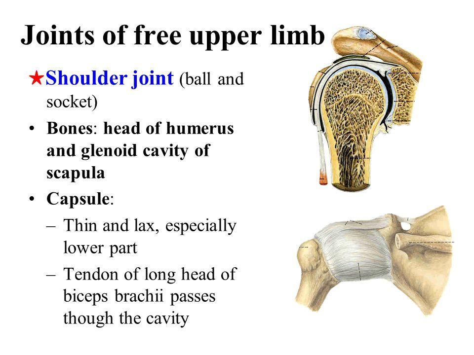 Pubic symphysis –Articulation: symphysial surface and interpubic disc (fibrocartilage) –Ligaments: superior pubic ligament and arcuate pubic ligament Obturator membrane Obturator canal