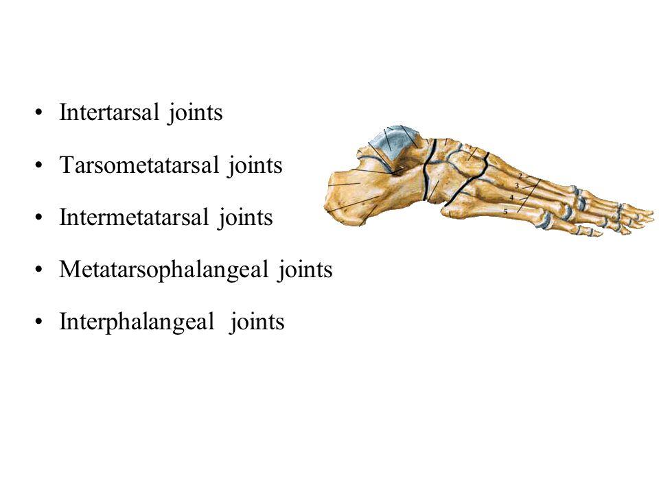 Intertarsal joints Tarsometatarsal joints Intermetatarsal joints Metatarsophalangeal joints Interphalangeal joints