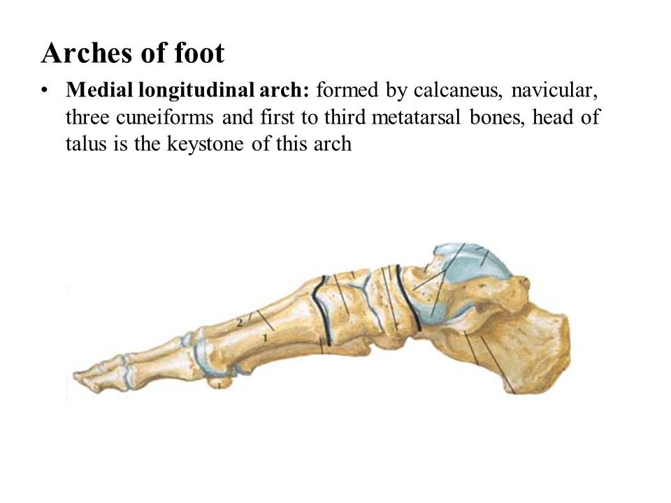 Arches of foot Medial longitudinal arch: formed by calcaneus, navicular, three cuneiforms and first to third metatarsal bones, head of talus is the ke