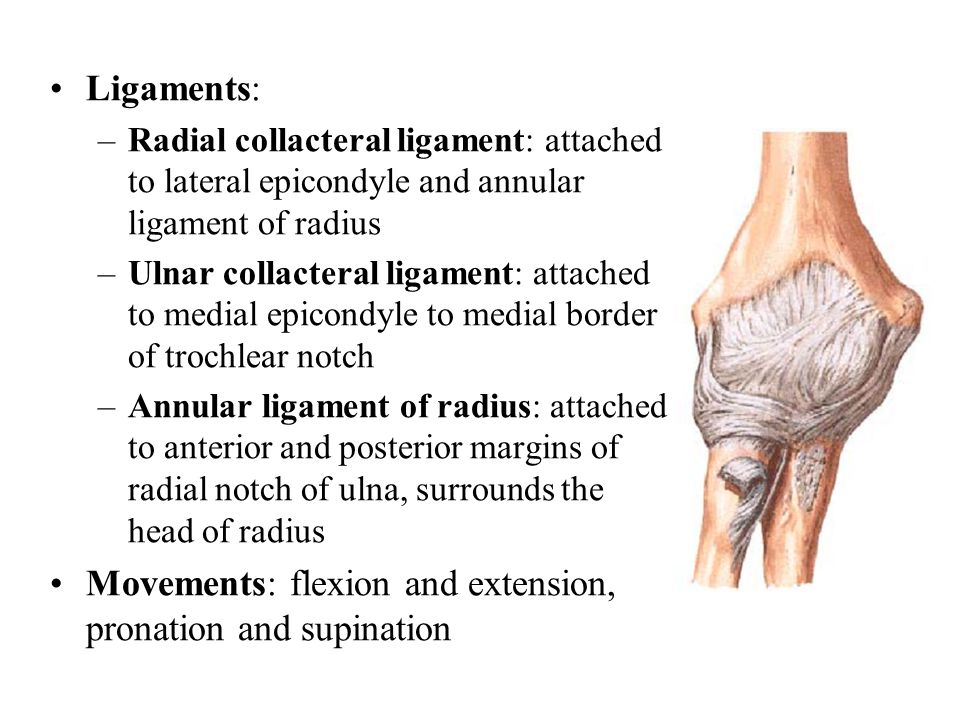 Ligaments: –Radial collacteral ligament: attached to lateral epicondyle and annular ligament of radius –Ulnar collacteral ligament: attached to medial