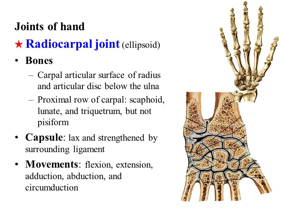 Intercarpal joints Carpometacarpal joints: Carpometacarpal joint of thumb(saddle) –Bones: trapezium and base of first metacarpal –Movement: flexion, extension, adduction, abduction, and opposition Intermetacarpal joints Metacarpophalangeal joints Interphalangeal joints