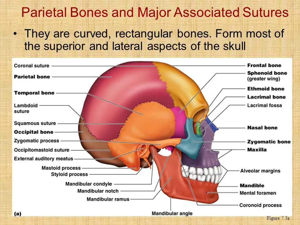Parietal Bones and Major Associated Sutures They are curved, rectangular bones.