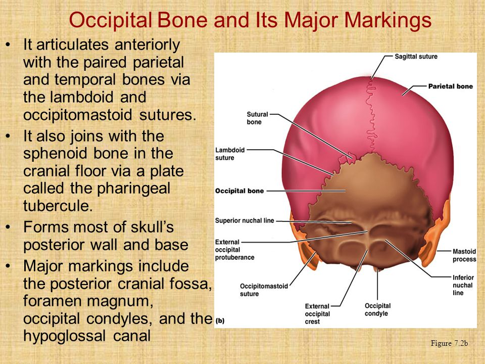 Occipital Bone and Its Major Markings It articulates anteriorly with the paired parietal and temporal bones via the lambdoid and occipitomastoid sutures.