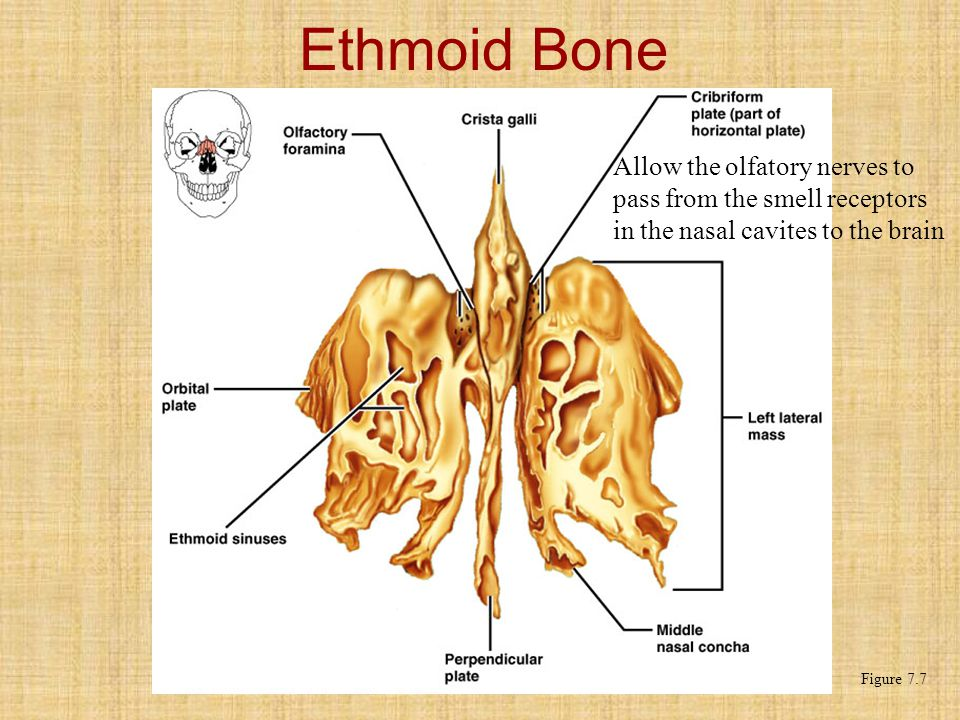 Ethmoid Bone Figure 7.7 Allow the olfatory nerves to pass from the smell receptors in the nasal cavites to the brain
