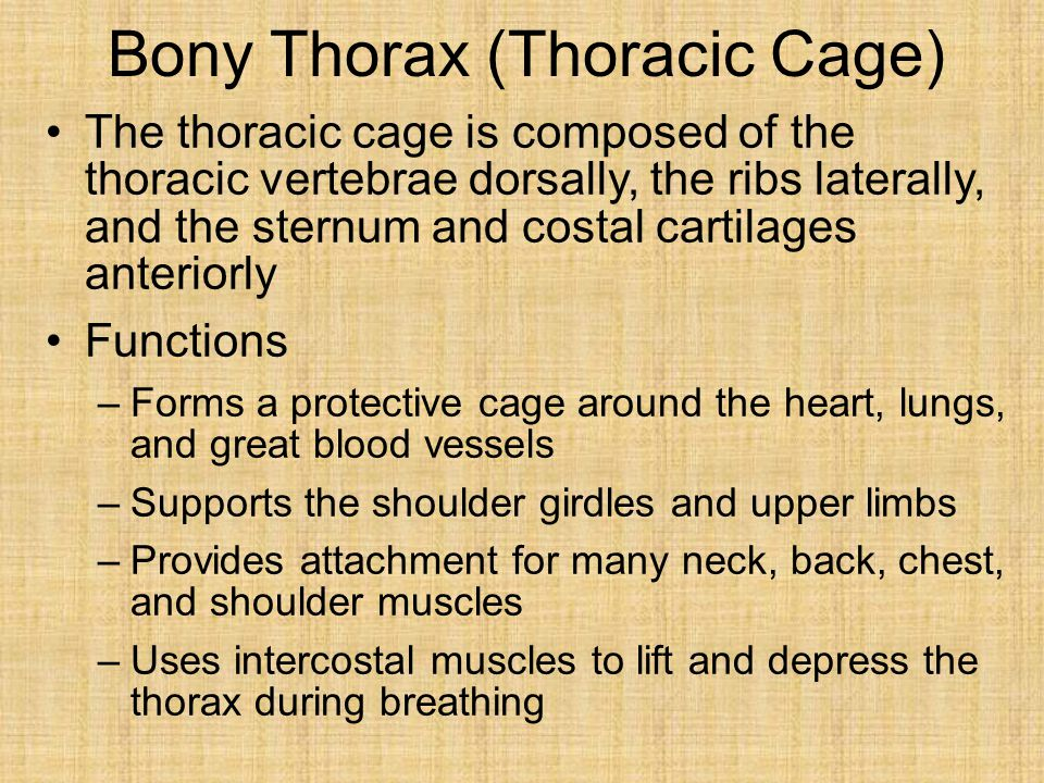 Bony Thorax (Thoracic Cage) The thoracic cage is composed of the thoracic vertebrae dorsally, the ribs laterally, and the sternum and costal cartilages anteriorly Functions –Forms a protective cage around the heart, lungs, and great blood vessels –Supports the shoulder girdles and upper limbs –Provides attachment for many neck, back, chest, and shoulder muscles –Uses intercostal muscles to lift and depress the thorax during breathing
