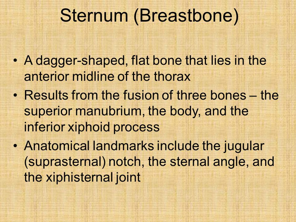 Sternum (Breastbone) A dagger-shaped, flat bone that lies in the anterior midline of the thorax Results from the fusion of three bones – the superior manubrium, the body, and the inferior xiphoid process Anatomical landmarks include the jugular (suprasternal) notch, the sternal angle, and the xiphisternal joint