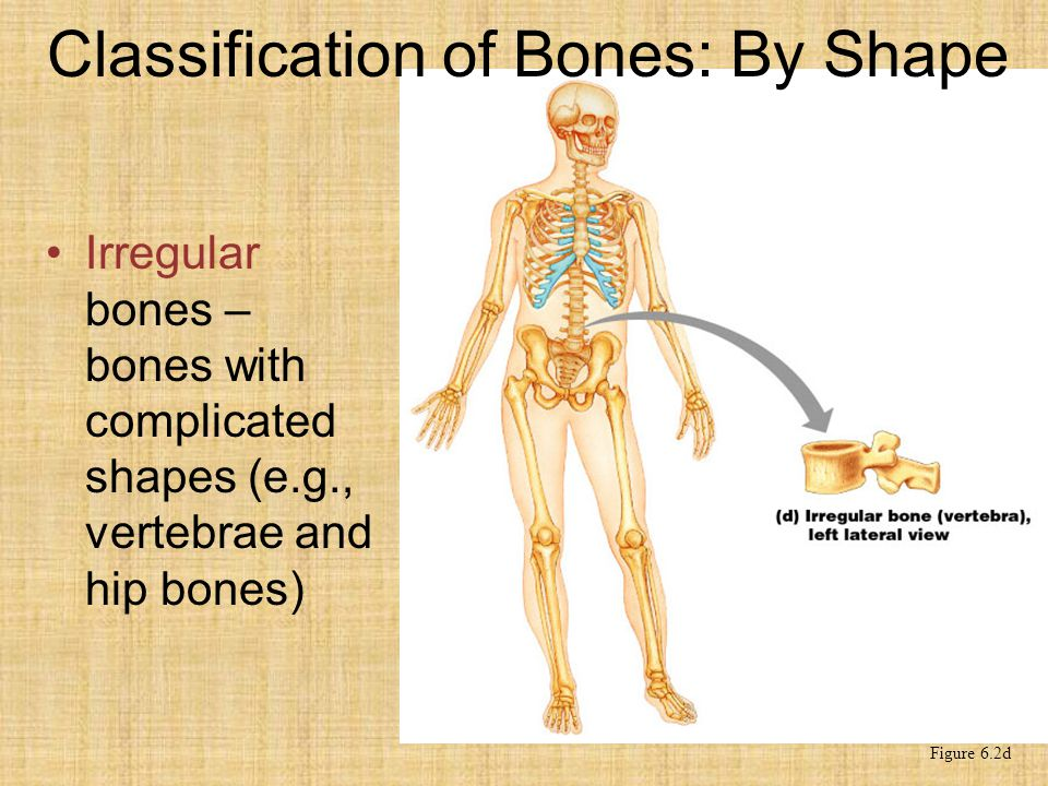 Classification of Bones: By Shape Irregular bones – bones with complicated shapes (e.g., vertebrae and hip bones) Figure 6.2d