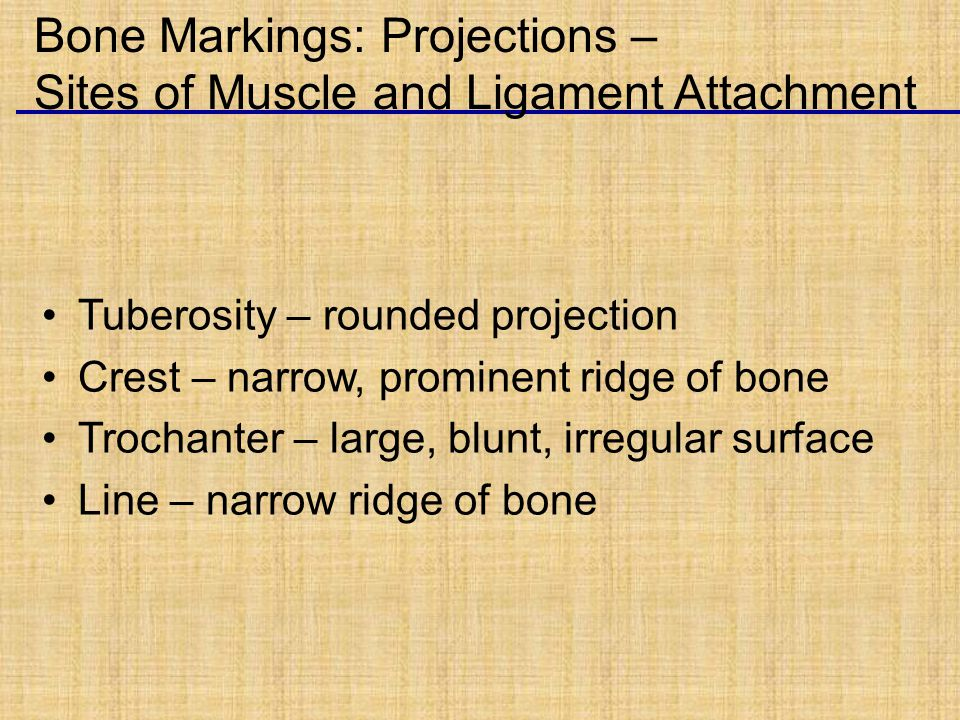 Tuberosity – rounded projection Crest – narrow, prominent ridge of bone Trochanter – large, blunt, irregular surface Line – narrow ridge of bone Bone Markings: Projections – Sites of Muscle and Ligament Attachment