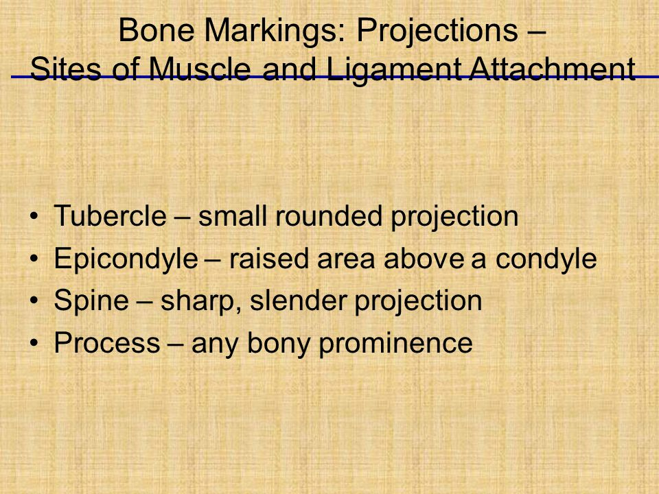 Tubercle – small rounded projection Epicondyle – raised area above a condyle Spine – sharp, slender projection Process – any bony prominence Bone Markings: Projections – Sites of Muscle and Ligament Attachment