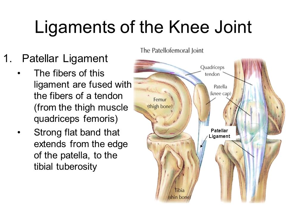 Ligaments of the Knee Joint 1.Patellar Ligament The fibers of this ligament are fused with the fibers of a tendon (from the thigh muscle quadriceps fe