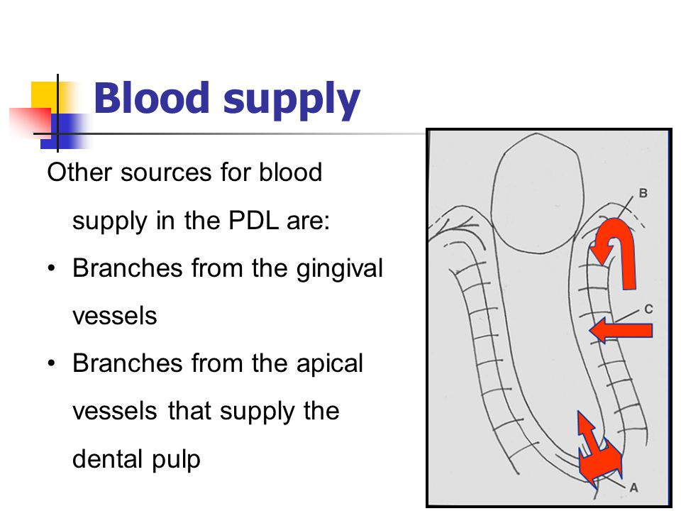 Blood supply Other sources for blood supply in the PDL are: Branches from the gingival vessels Branches from the apical vessels that supply the dental