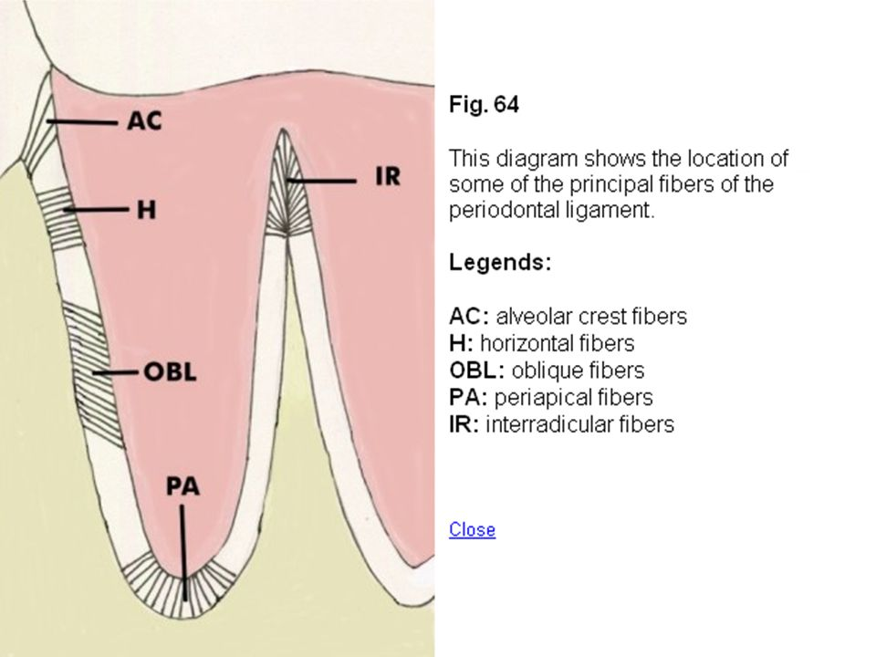 Alveolar crest group The fibers radiate from the crest of alveolar process (lower level) to attach cervical part of cementum (higher level).